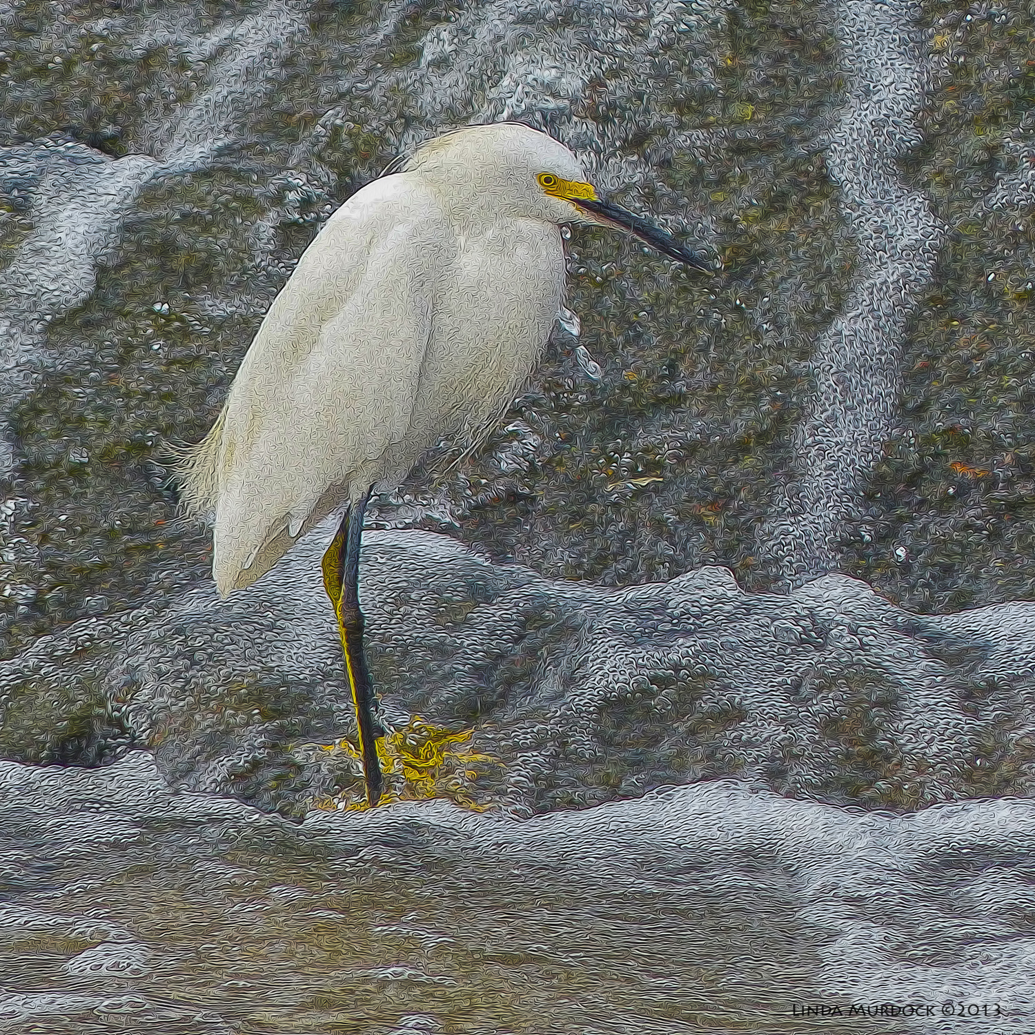 Snowy Egret looking well fed