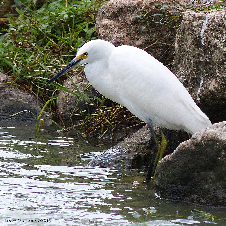 Snowy Egret on the rocks