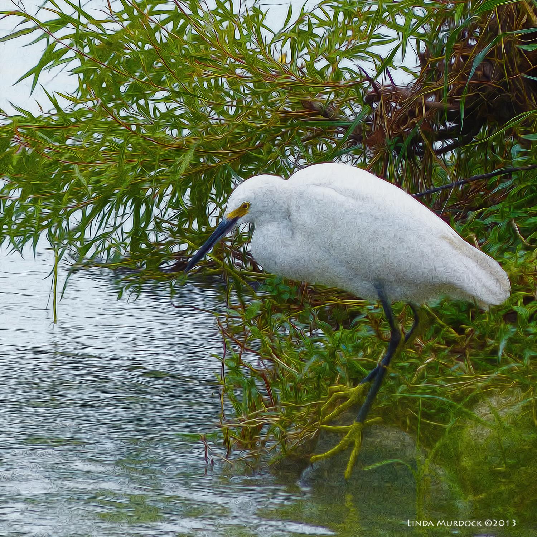 The ever elegant Snowy Egret