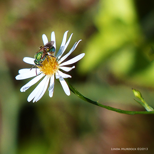 Unidentified green fly