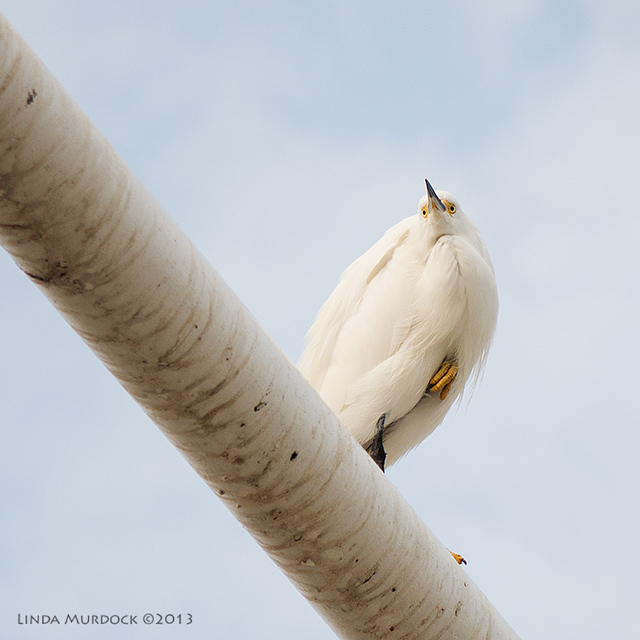 Snowy Egret being all aloof and haughty.     ISO 400 1/1600 f/2.8, focal length200.0mm