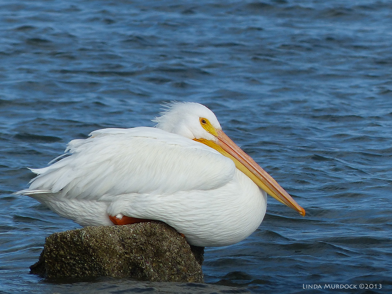 White Pelican as a lump    Panasonic Lumix FZ200 ISO 100 1/1600 at f/4.0, focal length 1200mm. Cropped for composition