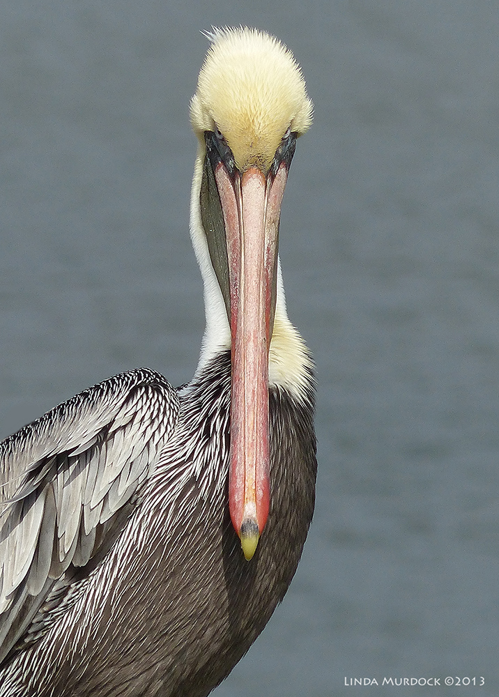 Brown Pelican portrait     Panasonic Lumix FZ200 ISO 100 1/1600 at f/4.5 focal length 1200.0mm.