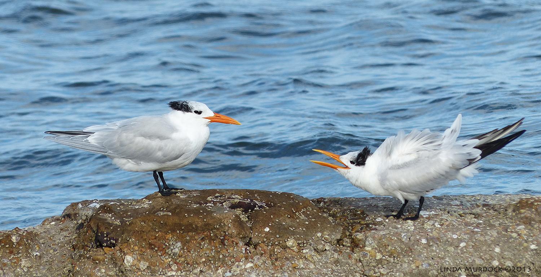 Royal Terns, non-breeding plumage    Panasonic Lumix FZ200 1/640 f/4.0   ISO 100
