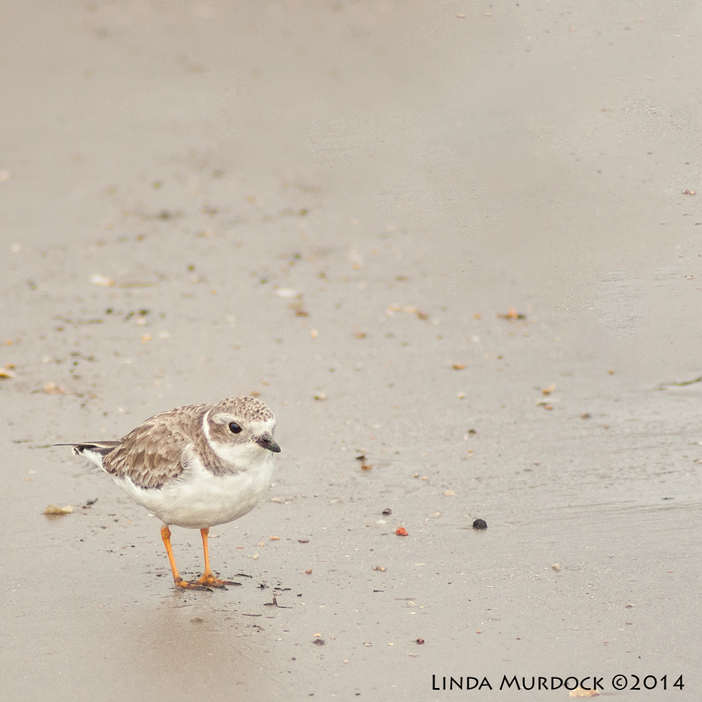 Piping Plover    Sony A700 with 75-300mm 1/1250 sec. f/5.6 ISO 1000