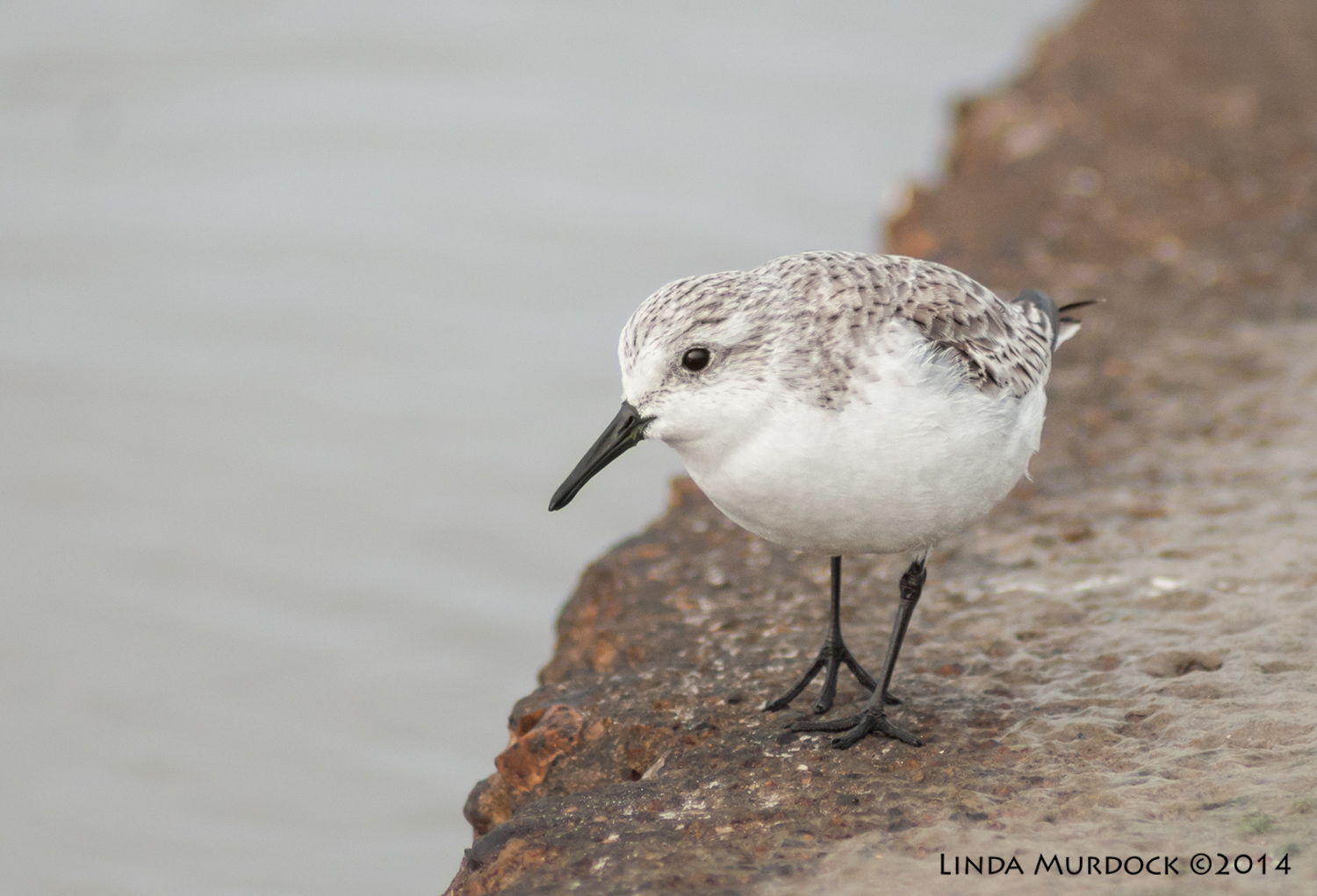 Sanderling    Sony A700 with 75-300mm 1/1250 sec. f/5.6 ISO 1000