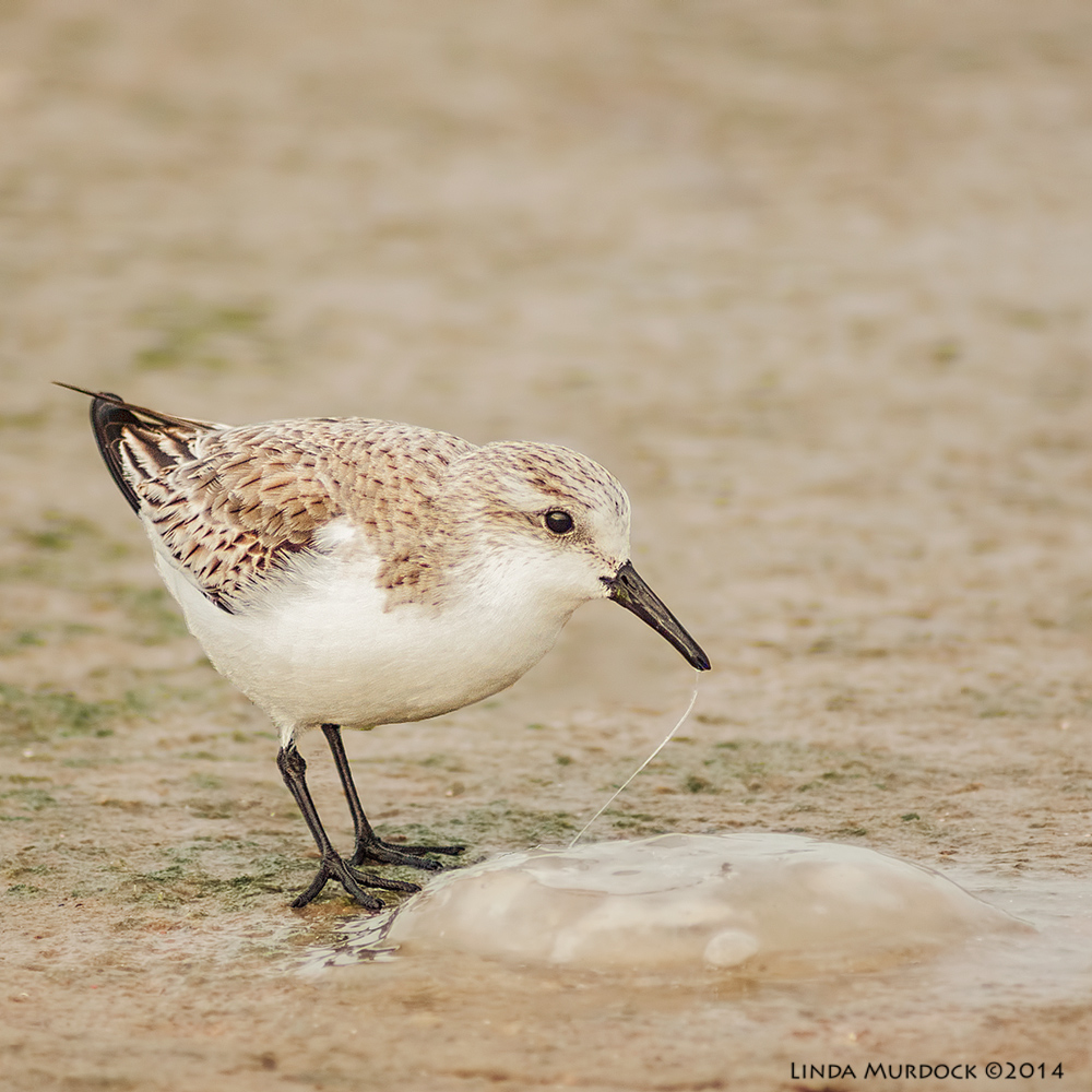 Sanderling with jellyfish    Sony A700 with 75-300mm 1/1250 sec. f/5.6 ISO 1000