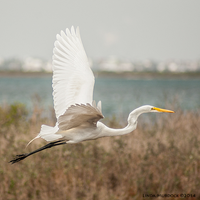 Great Egret in flight    Sony A700 with 75-300mm 1/2000 sec. f/5.6 ISO 400