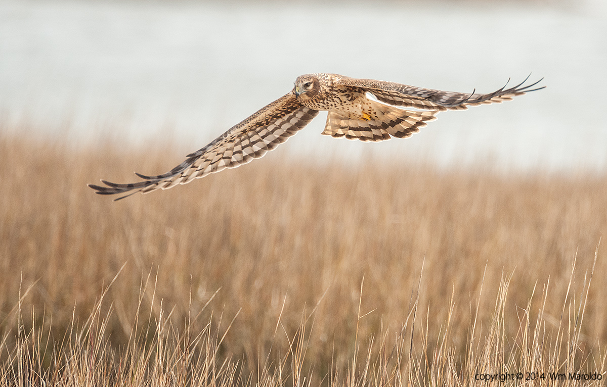 Northern Harrier by William Maroldo    Sony A900 with 500mm f/4.0