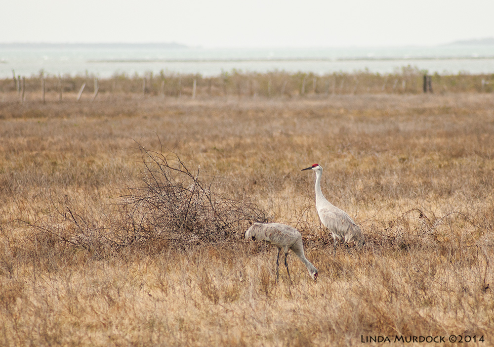 Sandhill Cranes    Sony A700 with 75-300mm 1/1600 sec. f/6.3 ISO 400