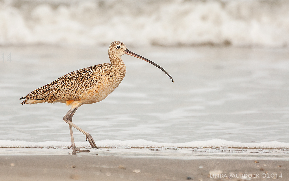 American Long-billed Curlew    Sony A700 with 70-400mm 1/1600 sec. f/5.6 ISO 800