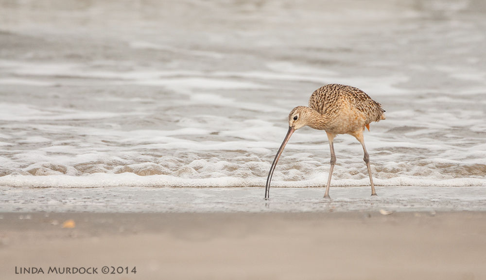 Curlew using that long bill to probe    Sony A700 with 70-400mm 1/1600 sec. f/5.6 ISO 800