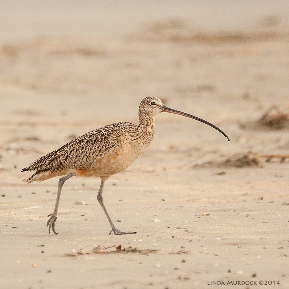 Curlew showing off his great feet. #ilovebirdfeet    Sony A700 with 70-400mm 1/1600 sec. f/5.6 ISO 800