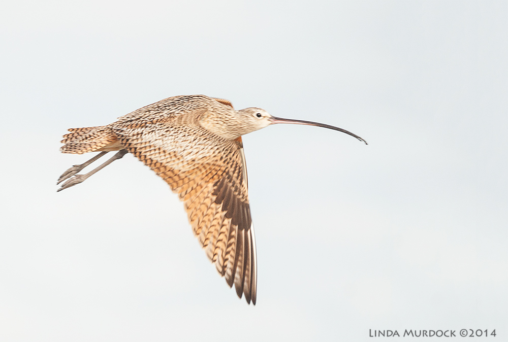 Long-billed Curlew in flight (BIF)    Sony A700 with 70-400mm 1/1000 sec. f/5.6 ISO 800