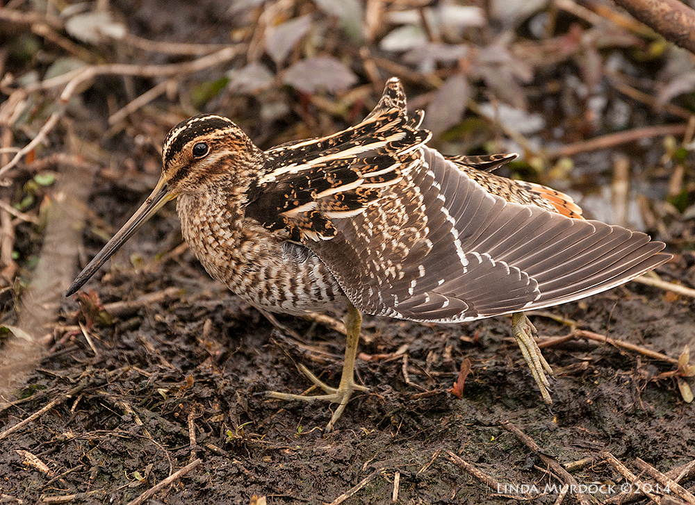 Snipe yoga    Sony A700 with 70-400mm 1/1000 sec. f/5.6 ISO 800
