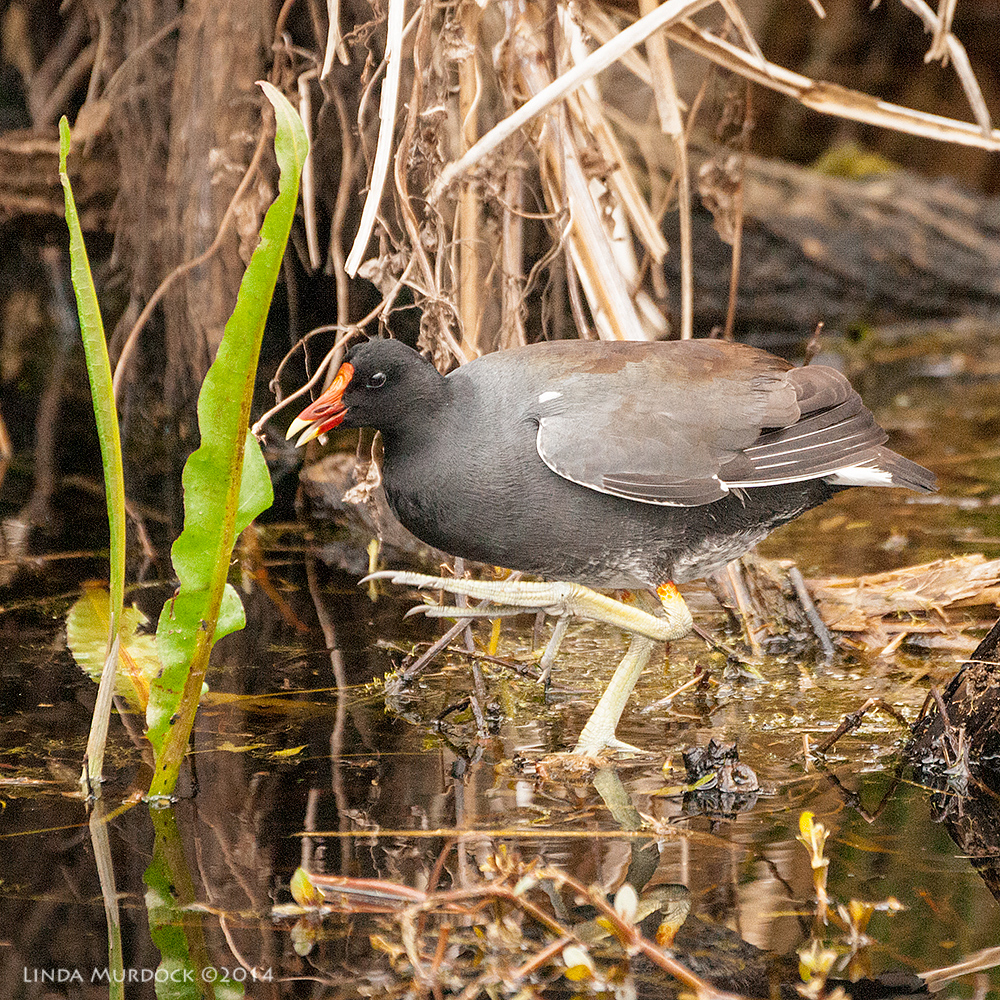 Mabel the Moorhen dancing all alone    Sony A700 with 70-400mm 1/1000 sec. f/5.6 ISO 2000