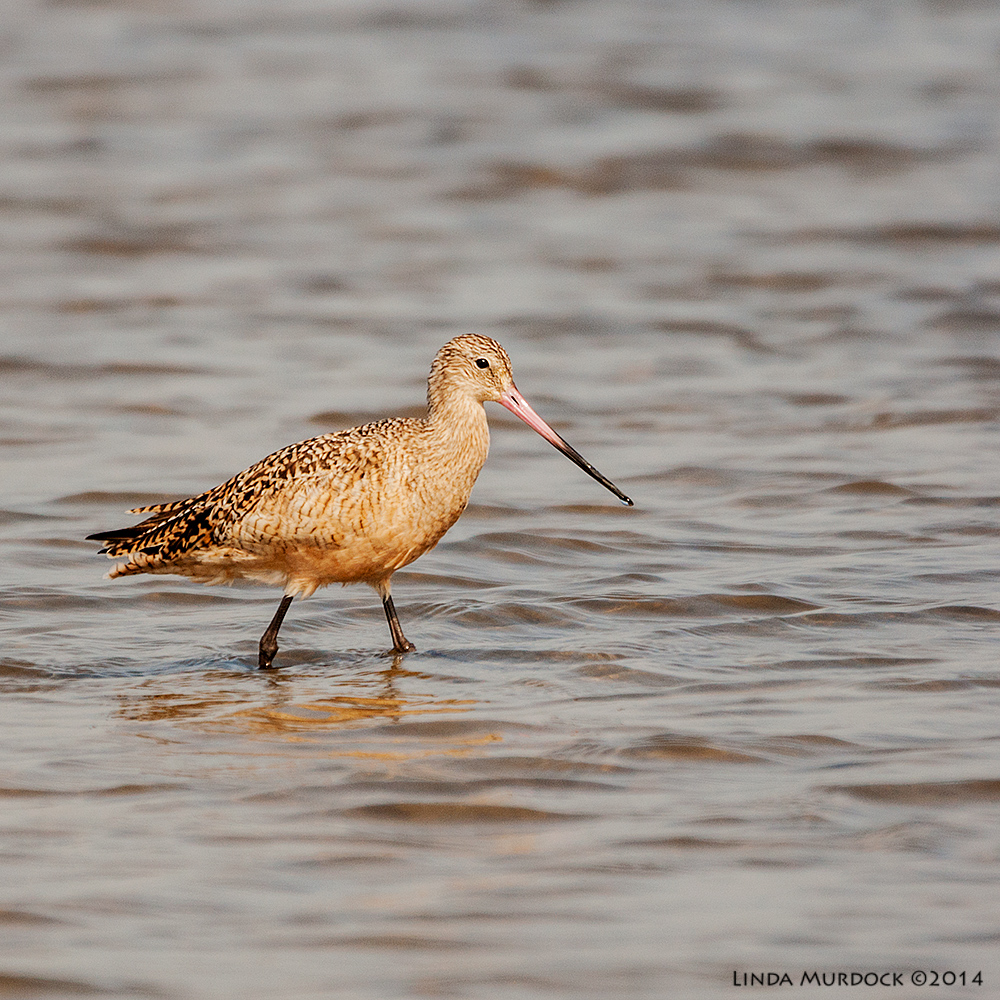 Marbled Godwit in a patch of sun    Sony A700 with 70-400mm 1/2000 sec. f/5.6 ISO 400