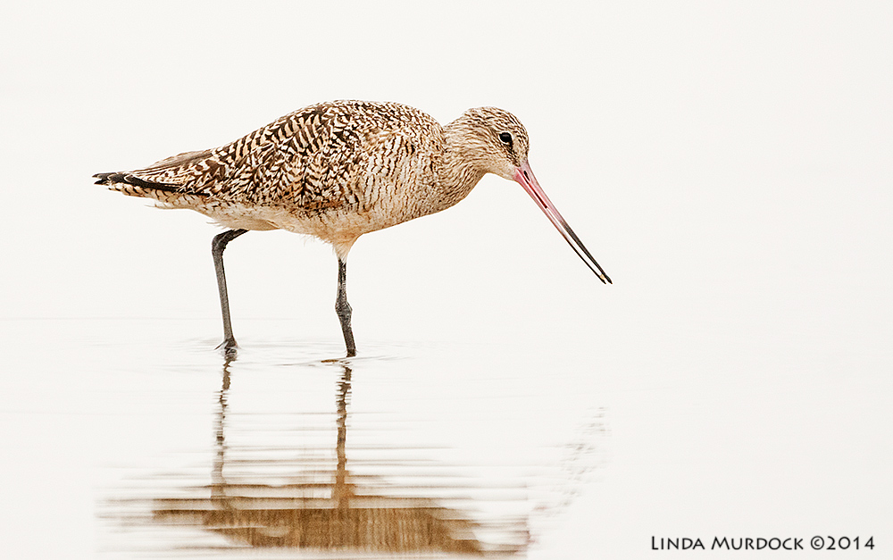 Marbled Godwit probing    Sony A700 with 70-400mm 1/1000 sec. f/5.6 ISO 1250