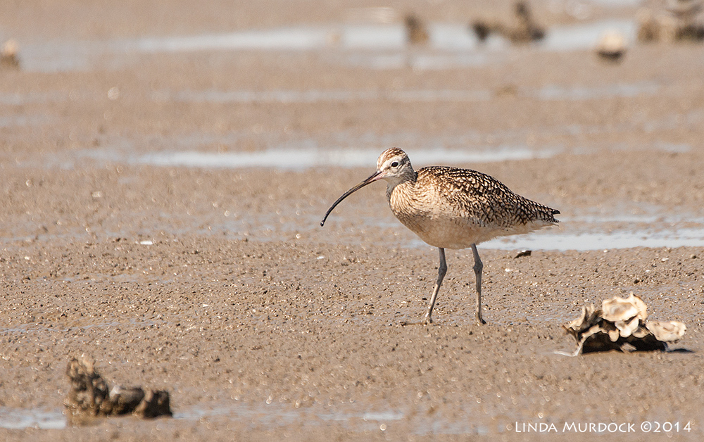 Long-billed Curlew    Sony A700 with 70-400mm 1/1250 sec. f/6.3 ISO 400