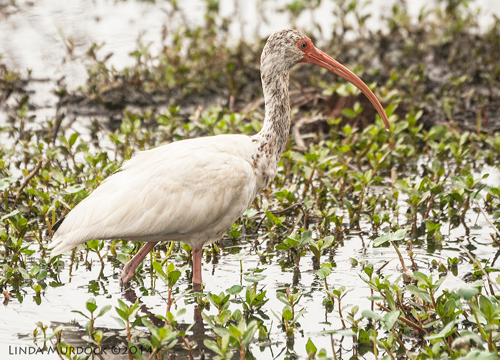 Young White Ibis    Sony A700 with 70-400mm 1/1600 sec. f/5.6 ISO 1250