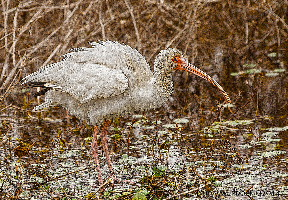 White Ibis as art    Sony A700 with 70-400mm 1/1000 sec. f/5.6 ISO 1000