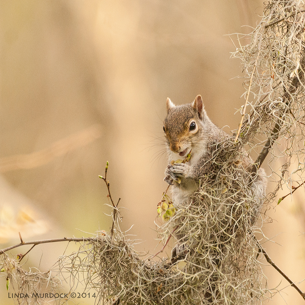 Spring squirrel eating new buds at Brazos Bend State Park    Sony A700 with 70-400mm 1/1000 sec. f/5.6 ISO 1000