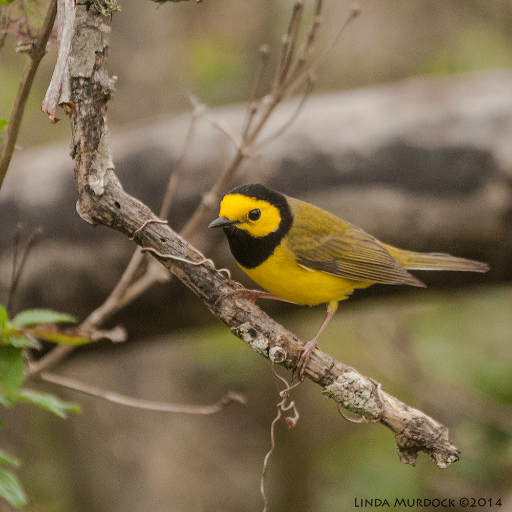 Hooded Warbler    Sony A700 with 70-400mm 1/800 sec. f/5.6 ISO 1000
