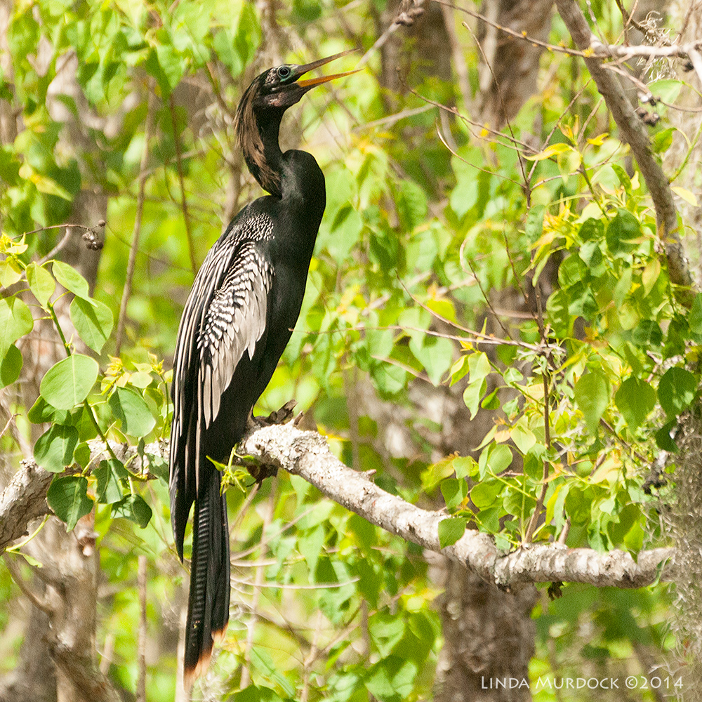 Anhinga (male) in full breeding plumage    Sony A700 with 70-400mm 1/2500sec. f/5.6 ISO 1600