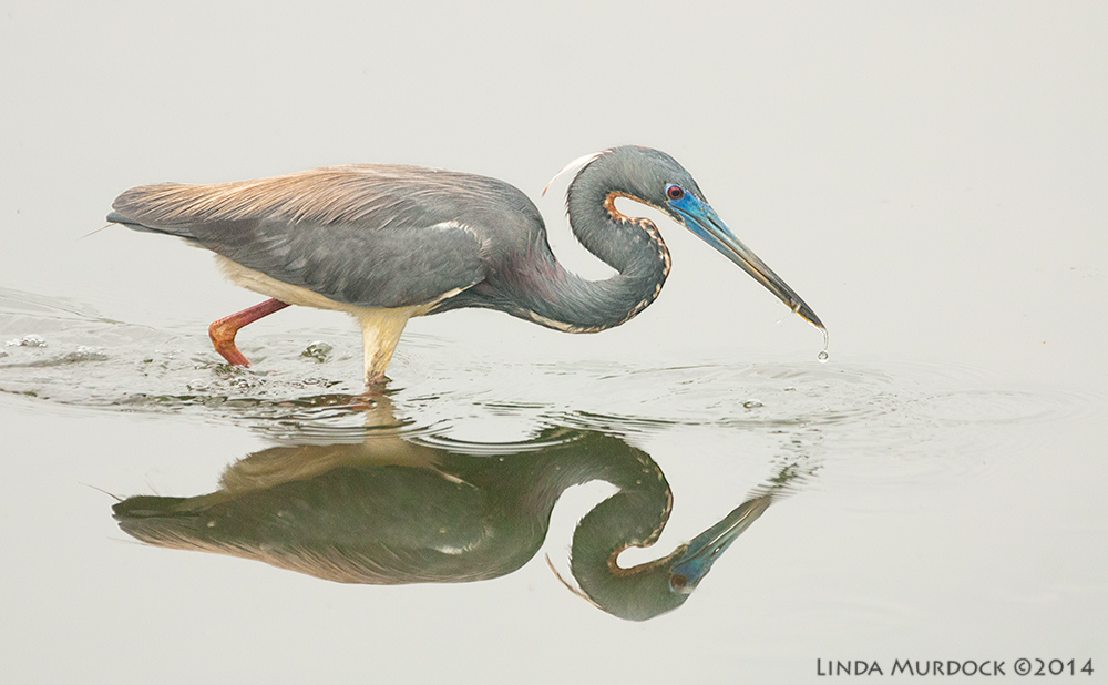 Tri-colored Heron and his tiny lunch    Sony A700 with 70-400mm 1/1000sec. f/5.6 ISO 1600