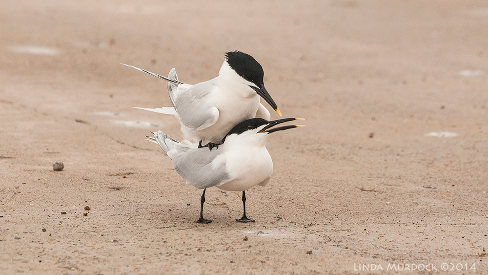 Sandwich Terns ... umm. this might be NSFW    Sony A700 with 70-400mm 1/2000sec. f/7.1 ISO 1000