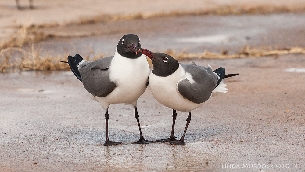 Pair of Laughing Gulls in full breeding colors    Sony A700 with 70-400mm 1/2000sec. f/7.1 ISO 400