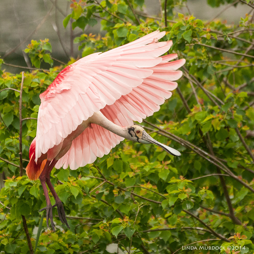 Roseate Spoonbill coming in for a landing; this is called the Umbrella pose    Sony A700 with 70-400mm 1/2000 sec. f/5.6 ISO 1600