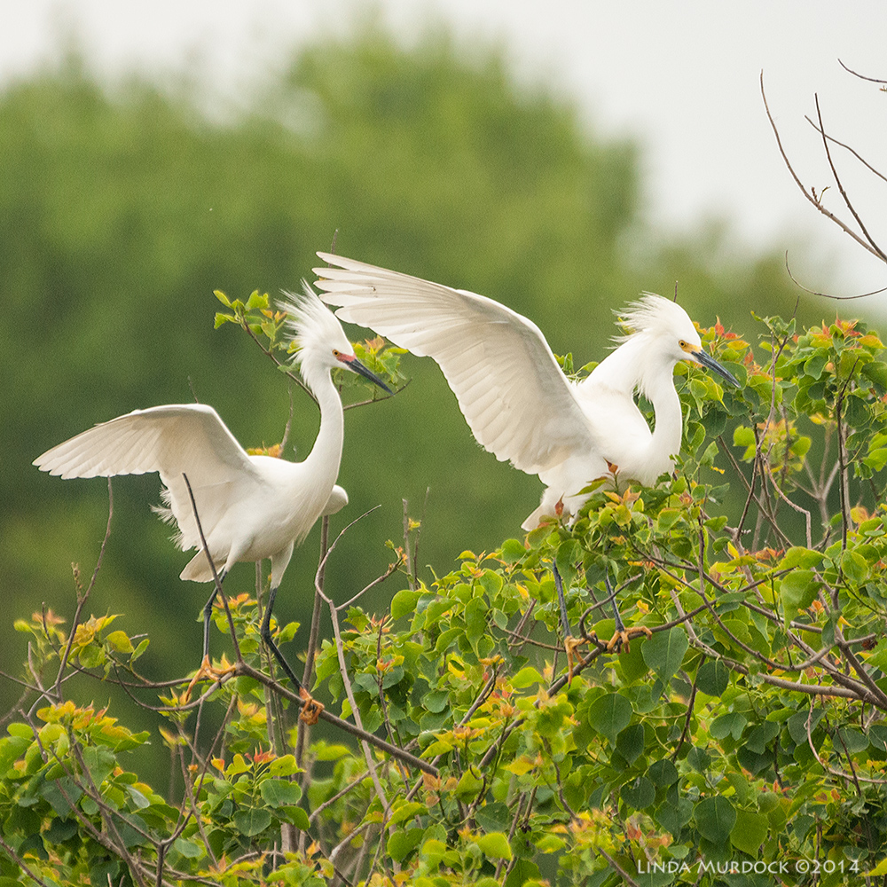 A pair of Snowy Egrets showing off    Sony A700 with 70-400mm 1/2000 sec. f/5.6 ISO 1600