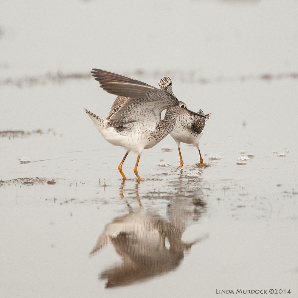 Lesser Yellowlegs having a tiff    Sony A700 with 70-400mm 1/3200 sec. f/5.6 ISO 1000