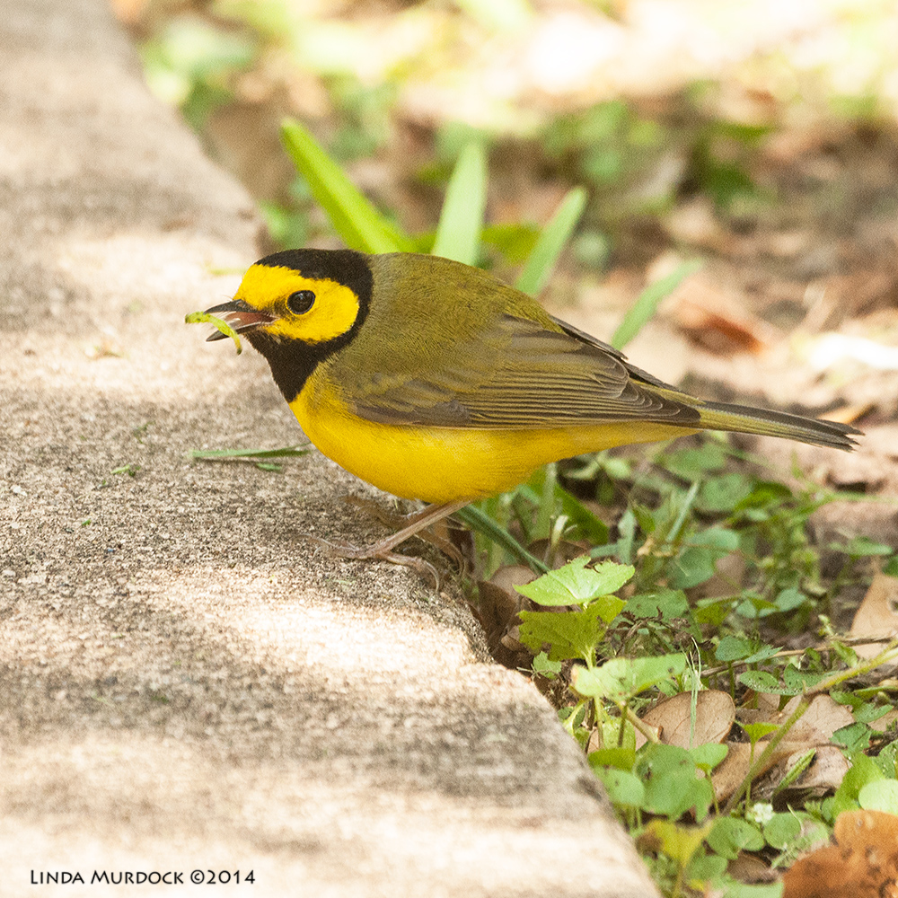 Hooded Warbler    Sony A700 with 70-400mm 1/640sec. f/6.3 ISO 1600