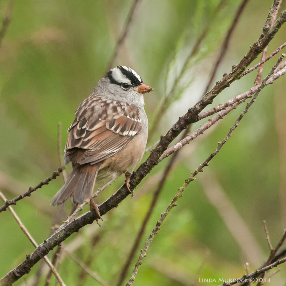 White-crowned Sparrow    Sony A700 with 70-400mm 1/160 sec. f/6.3 ISO 1600