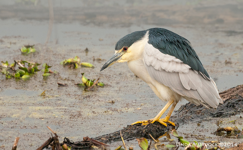 Black-crowned Night Heron hunting at Elm Lake, Brazos Bend State Park    Sony A700 with 70-400mm 1/800 sec. f/5.6 ISO 1600