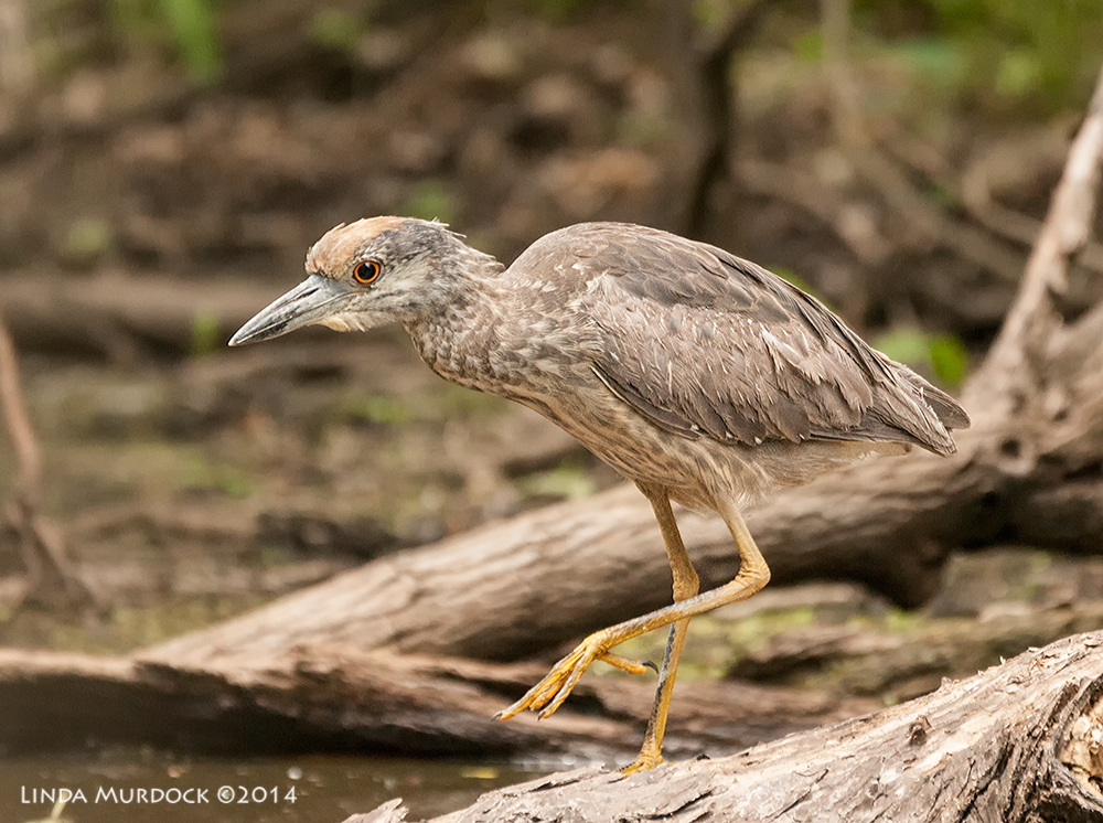 Juvenile Yellow-crowned Night Heron    Sony A700 with 70-400mm 1/1000 sec. f/5.6 ISO 1600