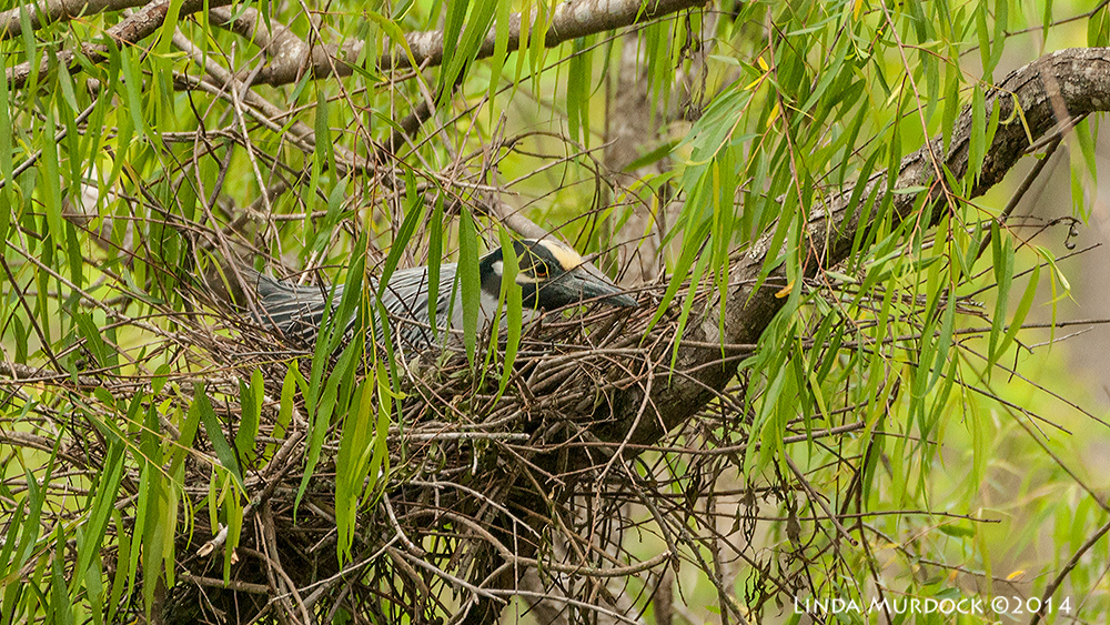 Yellow-crown Night Heron on nest    Sony A700 with 70-400mm 1/1000 sec. f/5.6 ISO 1000