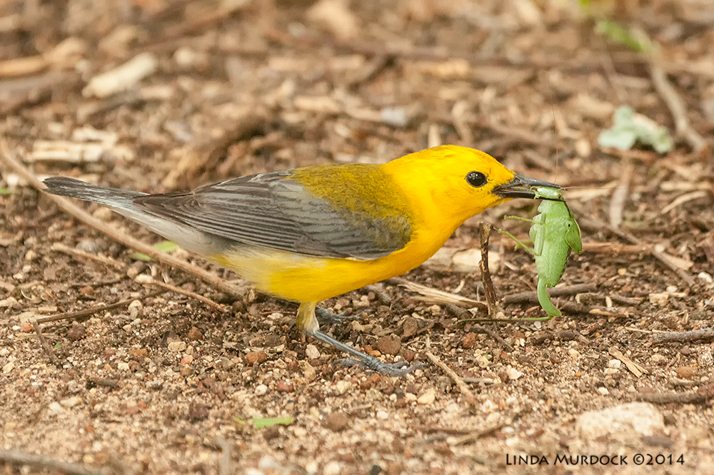 Prothonatory Warbler on the ground with a katydid    Sony A700 with 70-400mm 1/320 sec. f/5.6 ISO 1600