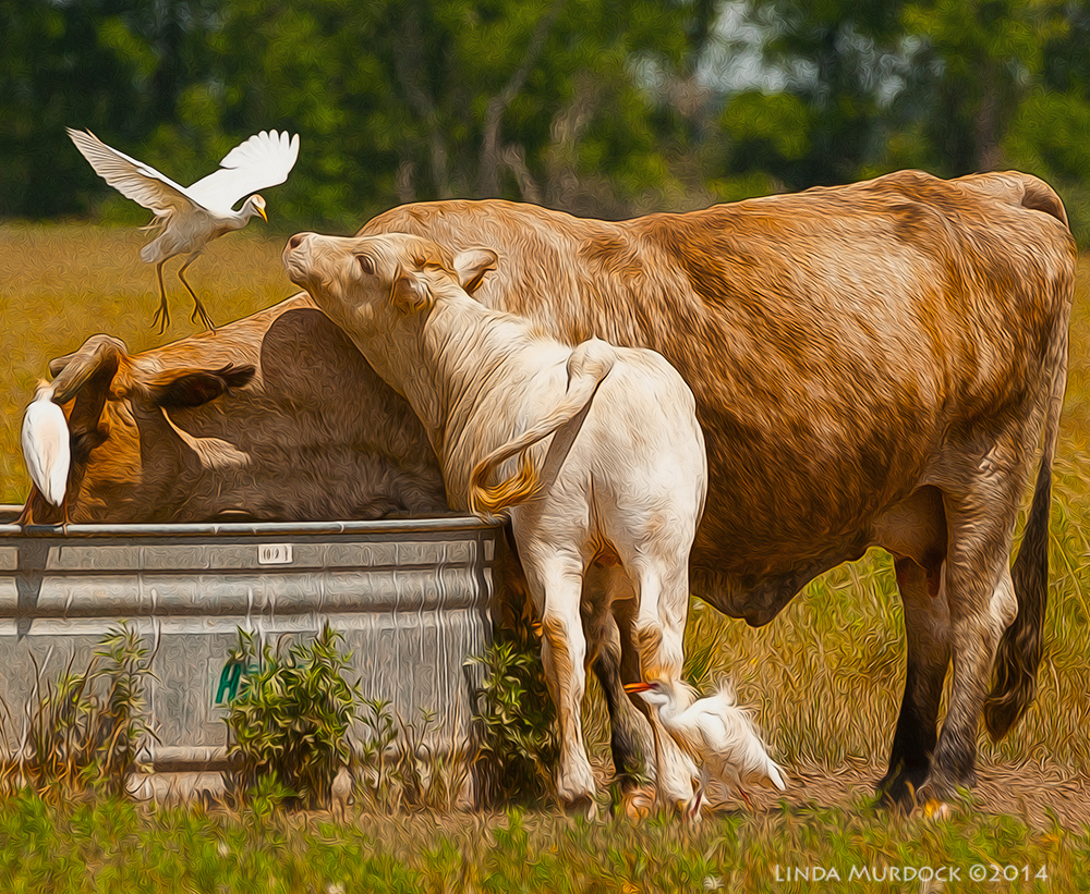 Calf foils attempt to land on cow     Sony A700 with 70-400mm 1/2000 sec. f/7.1 ISO 400