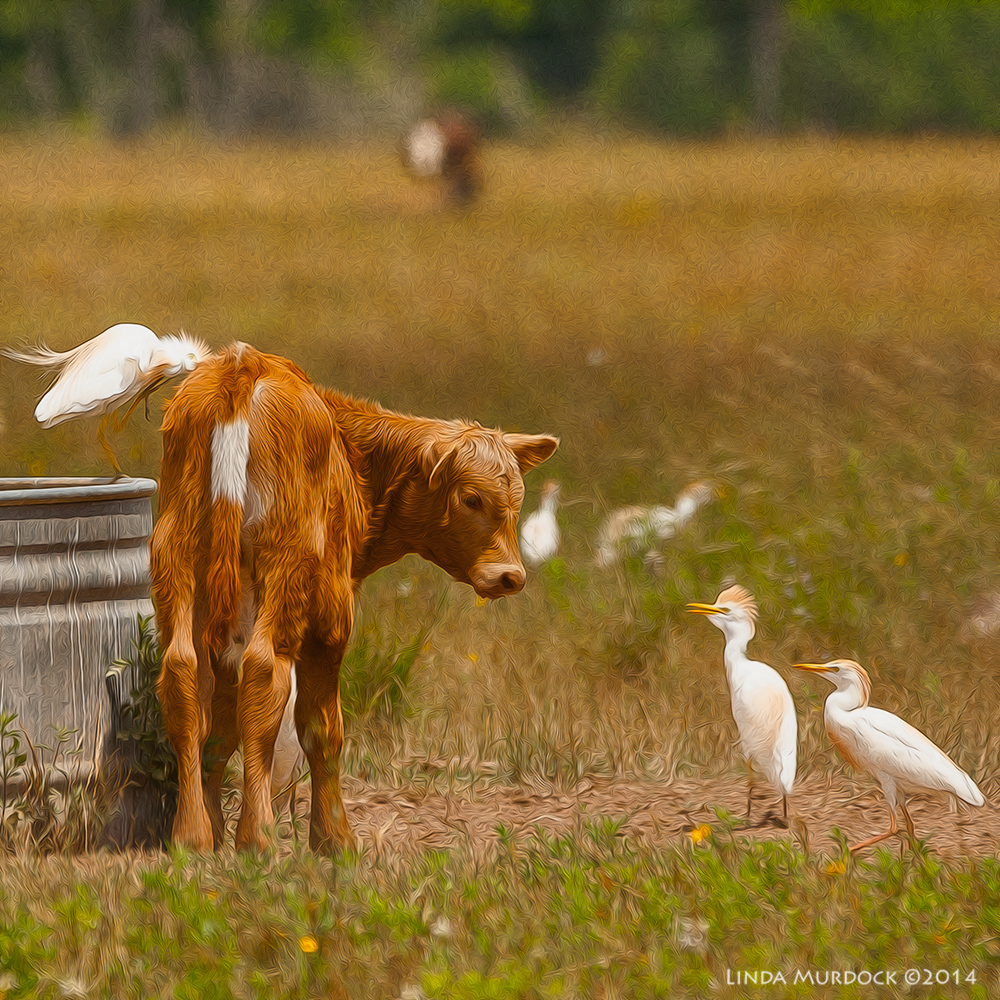 Calf meets Cattle Egrets     Sony A700 with 70-400mm 1/1250 sec. f/6.3 ISO 400
