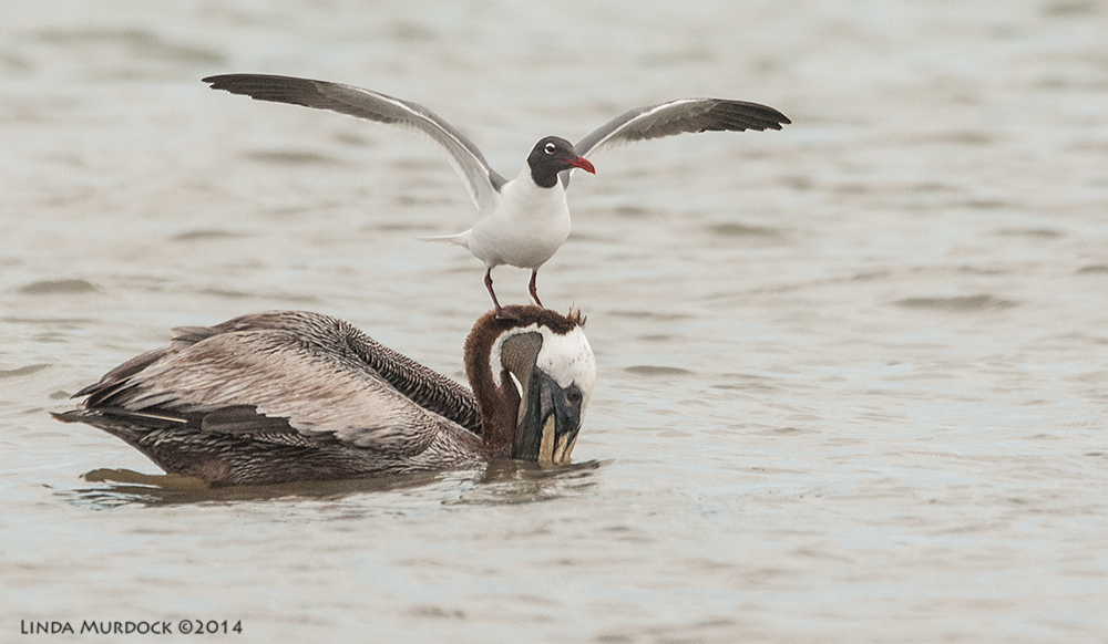 Hitchhiker on an adult Brown Pelican    Sony A700 with 70-400mm 1/2500 sec. f/6.3 ISO 1600