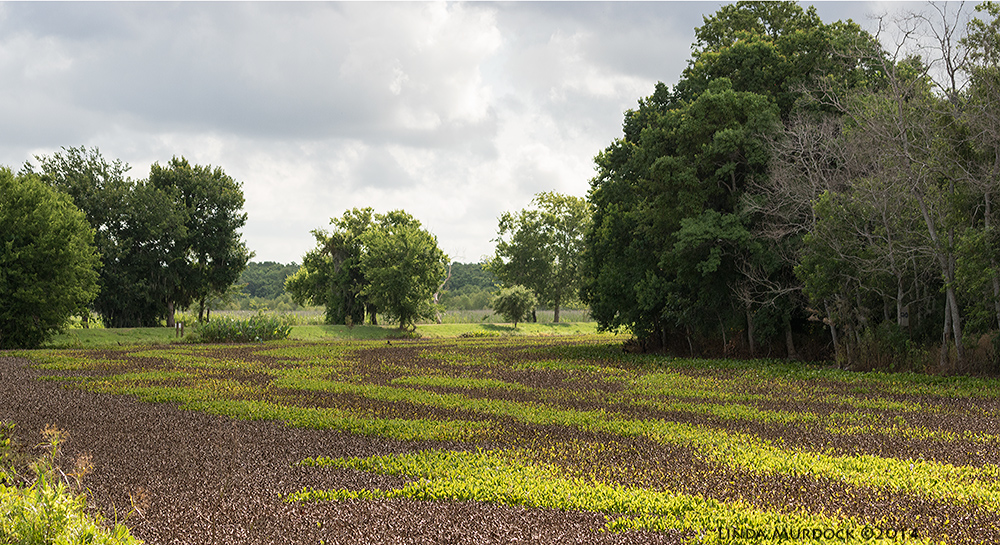 40-acre Lake rapidly evolving into a meadow from uncontrolled Water Hyacinth growth. The brown strips are from herbicide sprays.    Sony A77 II with 70-400mm G21/1600 sec. f/7.1 ISO 1000