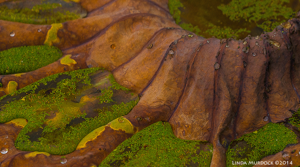 Dead lotus leaf with duckweed. Post-processed with Fractalius and Photoshop Oil Paint    Sony A77 II with 70-400mm G21/500 sec. f/7.1 ISO 1000