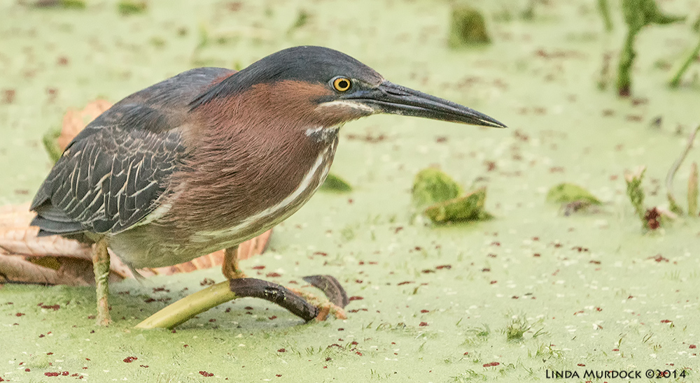 Adult Green Heron in the duckweed.    Sony A77 II with 70-400mm G21/500 sec. f/7.1 ISO 1000