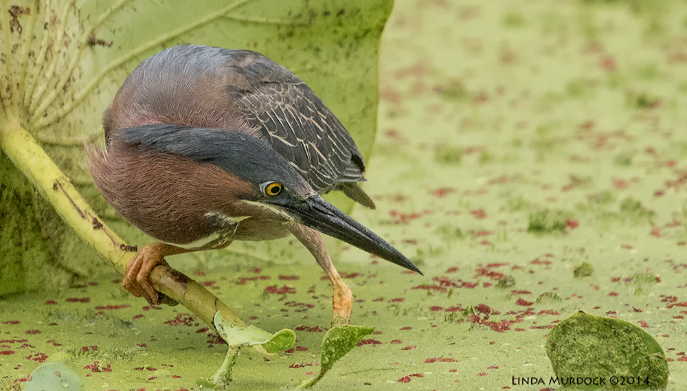 Green Heron stares intently ...    Sony A77 II with 70-400mm G21/500 sec. f/7.1 ISO 1000