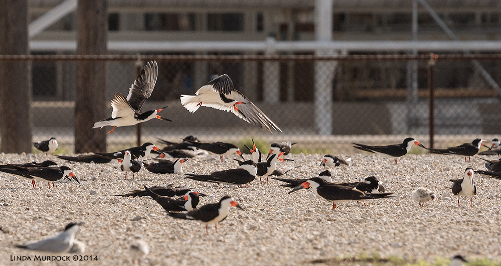 Black Skimmer colony at Dow Chemical - it is a busy and noisy place. Check out the babies!    Sony A77 II with 70-400mm G21/1600 sec. f/8.0 ISO640