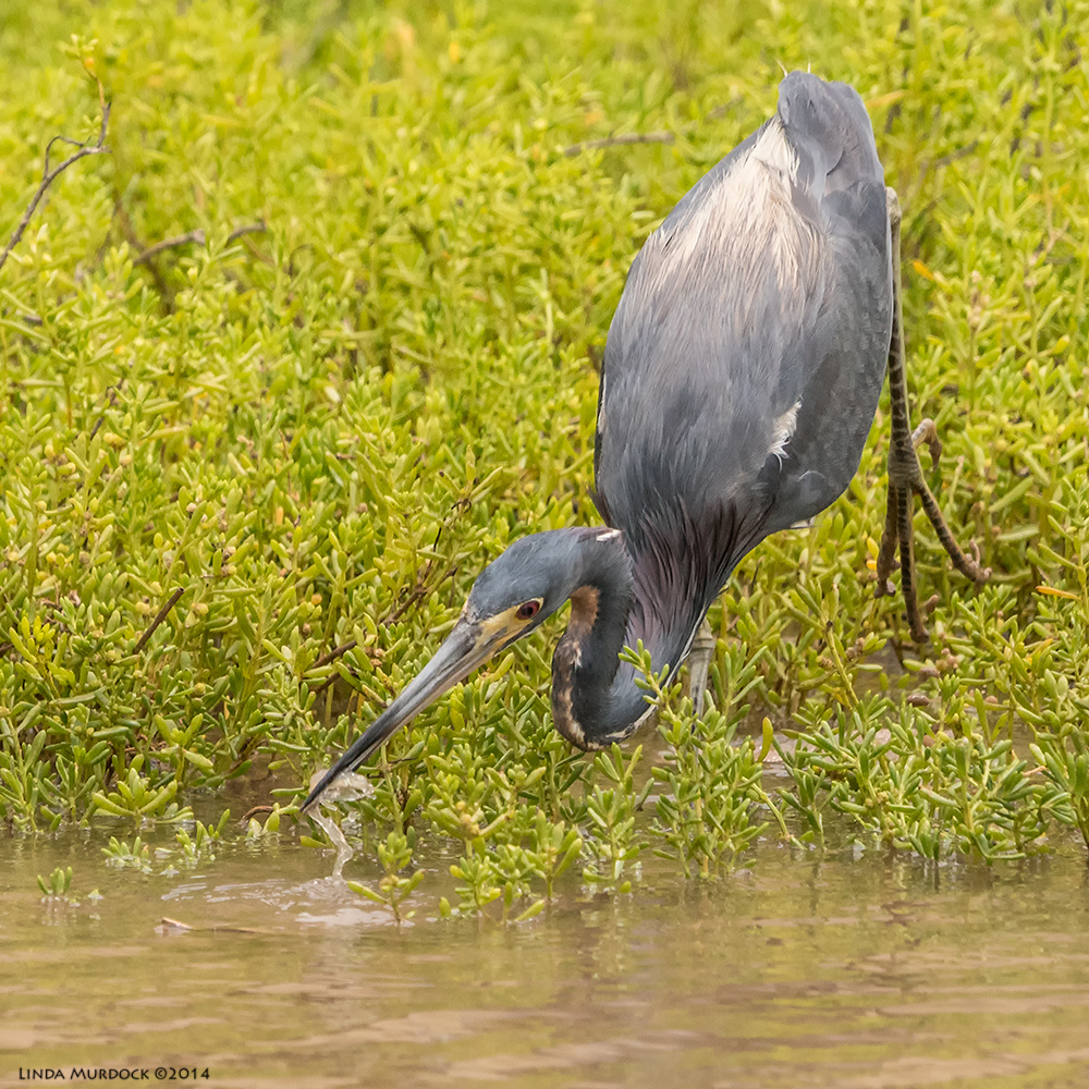 Tri-colored Heron catches a shrimp    Sony A77 II with 70-400mm G21/2000 sec. f/7.1 ISO1000