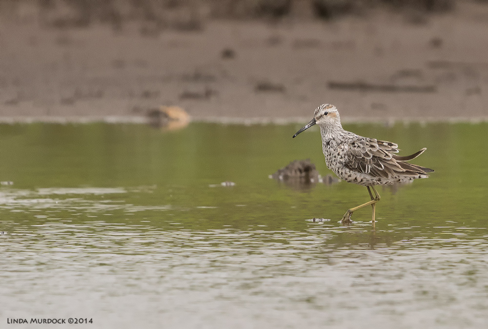Stilt Sandpiper     Sony A77 II with 70-400mm G21/2000 sec. f/7.1 ISO800
